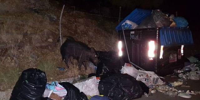 Fotografati cinghiali in strada all'Addaura, Arcoleo (Pd) chiede tavolo d'emergenza