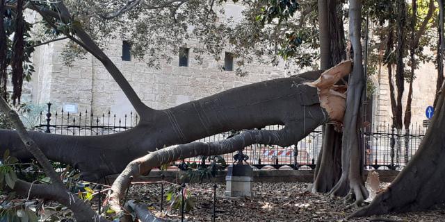 Si spezza il ficus monumentale di piazza Marina