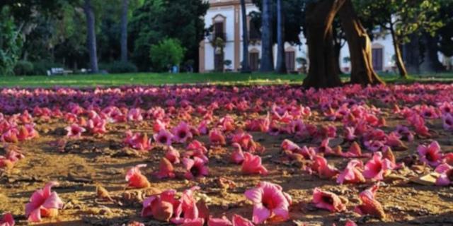 Il Brachychiton discolor, l'albero dai fiori rosa che fa più bella Palermo in estate