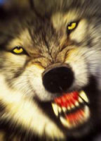 Il lupo della Riserva reale