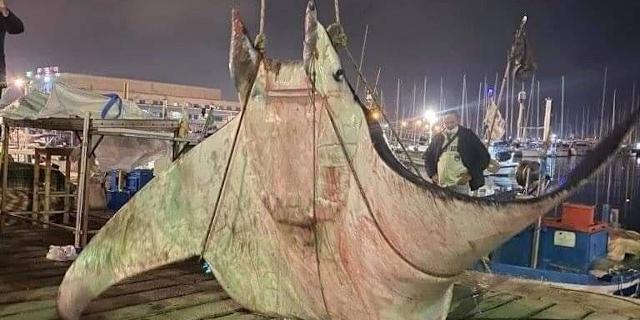 Trovata una manta morta da quattrocento chili alla Cala