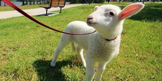 Coronavirus, multato palermitano che passeggiava con una pecora al guinzaglio