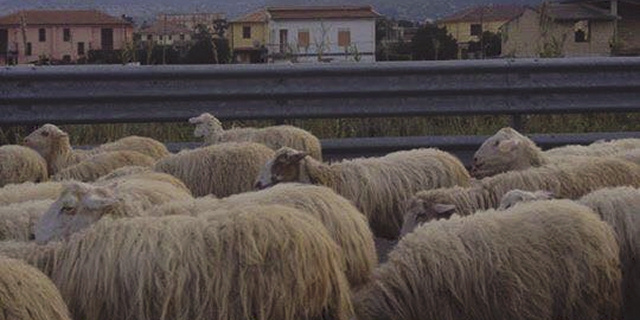 Ieri code sulla A29 per un gregge di pecore