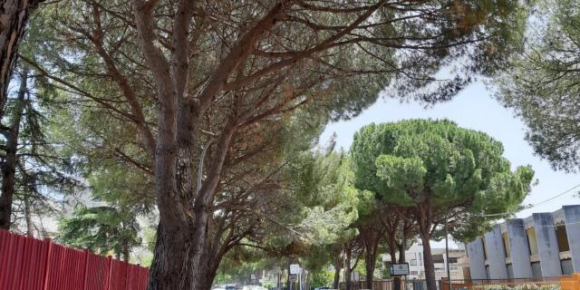 Abbattimento pini di via La Malfa, arrivano le rassicurazioni di Giambrone