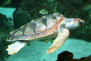 Tartaruga Caretta caretta depone 60 uova sulla spiaggia di Mondello