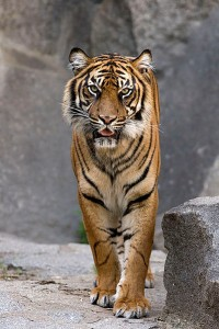 Tigre fugge da un circo a Trabia: catturata