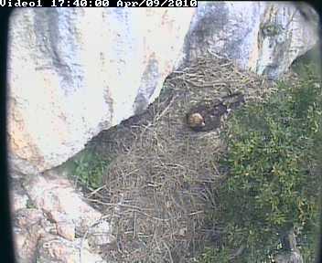 Una webcam su un nido di aquila reale sul sito del Parco dei Nebrodi